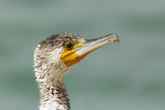 Beautiful eye of Great Cormorant Royalty Free Stock Photography