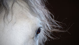 Beautiful eye of the white horse. With the long mane royalty free stock photography
