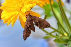 Eyed hawk moth Smerinthus ocellatus on marigold royalty free stock photography
