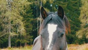 Beautiful eyes of black and white horse that grazes on a meadow look at the camera stock video
