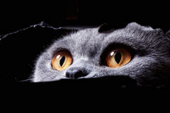 Beautiful eyes of cat Stock Photography
