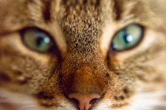 Beautiful eyes of the cat. Beautiful eyes of the home cat Royalty Free Stock Images