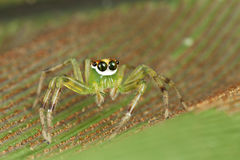 Beautiful eyes jumping spider. This beautiful jumping spider was shot in Malaysia forest, not too far from this spider was its nest with eggs. the eyes of the Stock Photography