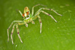 Beautiful eyes jumping spider. This beautiful jumping spider was shot in Malaysia forest, not too far from this spider was its nest with eggs. the eyes of the Royalty Free Stock Photo