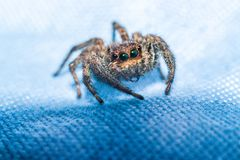 Beautiful eyes of the jumping spider stock photography
