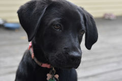 Beautiful Face of a Black Lab Puppy Dog. Really beautiful face of a black lab puppy dog Royalty Free Stock Photo