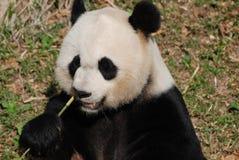 Beautiful Face of a Giant Panda Bear Eating Royalty Free Stock Photo
