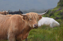 Beautiful Face of a Highland Cow in a Field royalty free stock images