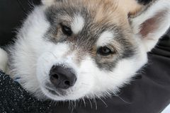Beautiful face Husky Stock Image