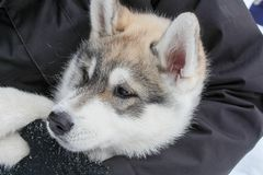 Beautiful face Husky Stock Images