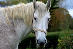 Beautiful face of inquisitve horse standing in meadow Royalty Free Stock Photos
