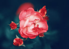 Beautiful fairy dreamy magic red crimson rose flowers on faded blurry green background Royalty Free Stock Photography