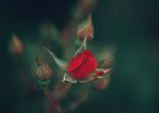 Beautiful fairy dreamy magic red crimson rose flowers on faded blurry green background Stock Photography