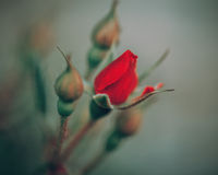 Beautiful fairy dreamy magic red crimson rose flowers on faded blurry green background, Royalty Free Stock Photo