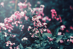 Beautiful fairy dreamy magic red pink flowers with dark green leaves Royalty Free Stock Photography