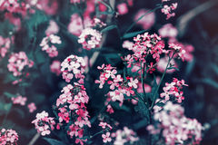 Free Beautiful Fairy Dreamy Magic Red Pink Flowers With Dark Green Leaves Royalty Free Stock Images - 70683099