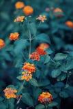 Beautiful fairy dreamy magic red yellow orange flower lantana camara on green blue blurry background Stock Photos