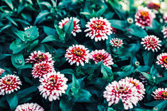Beautiful fairy dreamy magic red and yellow zinnia flowers with dark green leaves Stock Photos
