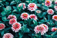 Beautiful fairy dreamy magic red and yellow zinnia flowers with dark green leaves Stock Image