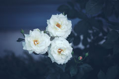 Beautiful fairy dreamy magic white beige creamy roses flowers on faded blurry green blue background Royalty Free Stock Photos