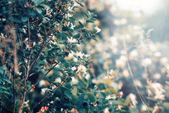 Beautiful fairy dreamy magic white tree flowers with dark green leaves. Toned with instagram vsco filter in retro vintage washed out pastel, soft selective Stock Photography