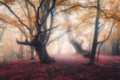 Beautiful fairy forest in fog in autumn. Enchanted trees Royalty Free Stock Image