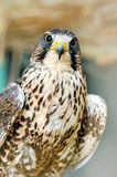 Beautiful falcon Royalty Free Stock Images