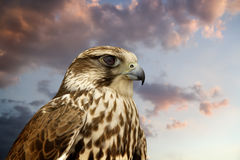 Beautiful Falcon Contemplating Sunset. Royalty Free Stock Images