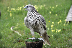Beautiful falcon trained to hunt Royalty Free Stock Photo