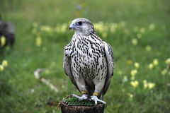 Beautiful falcon trained to hunt Royalty Free Stock Image