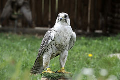 Beautiful falcon trained to hunt Stock Images