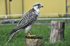 Beautiful falcon trained to hunt Stock Photo