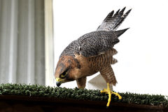 Beautiful falcon trained to hunt Royalty Free Stock Photography
