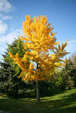 Beautiful fall color tree Royalty Free Stock Photos
