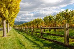 Beautiful fall colored trees. A long alley with trees and vineyard Royalty Free Stock Image