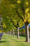 Beautiful fall colored trees. A long alley with a row of yellow trees Royalty Free Stock Image