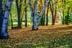 Beautiful Fall Colors and Birch Trees with Sun on a Autumn Day royalty free stock photo
