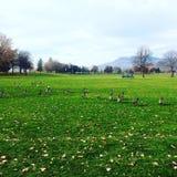 Beautiful fall day at the park. Enjoying a fall day at the park watching the geese royalty free stock photo