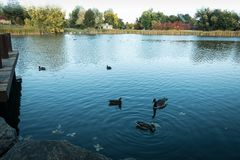 Gazing. Beautiful fall foliage as a background for a lake .Lakewood CO. Geese doing there thing royalty free stock photos