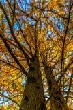 Beautiful Fall Foliage on a Bald Cypress Tree Royalty Free Stock Photos