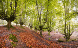 Beautiful fall forest, landscape autumn Royalty Free Stock Photo