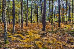 Autumn Scene in Fontainebleau Forest. Beautiful fall landscape with colorful trees and ferns located in Fontainebleau Forest in Central France Stock Photos