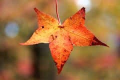 Beautiful Fall Leaf Royalty Free Stock Image