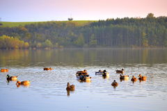 Beautiful fall nature ducks lake Royalty Free Stock Image
