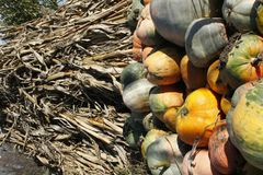 Yellow, red, green and orange pumpkins in front of a stack of dried corn stalks. stock images