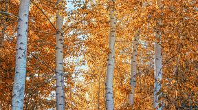 a beautiful fall scene with aspen trees turning orange in the woods royalty free stock photos