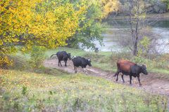Autumn landscape with cows Royalty Free Stock Images