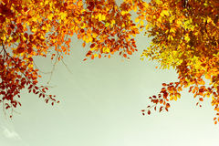 Beautiful fall tree branches, bright background Royalty Free Stock Photos