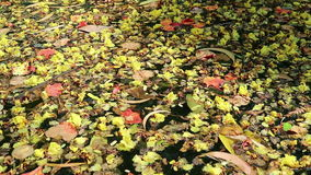 Beautiful fallen flowers and leaves floating on green water. Colorful fallen flowers and variety of leaves floating on green water. Flowers of yellow Peltophorum stock footage