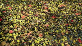 Beautiful fallen flowers and leaves floating on green water. Colorful fallen flowers and variety of leaves floating on green water. Flowers of yellow Peltophorum stock video